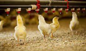 انواع سیستم آبخوری مرغداری