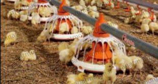 دانخوری اتوماتیک مرغداری صنعت مرغ
