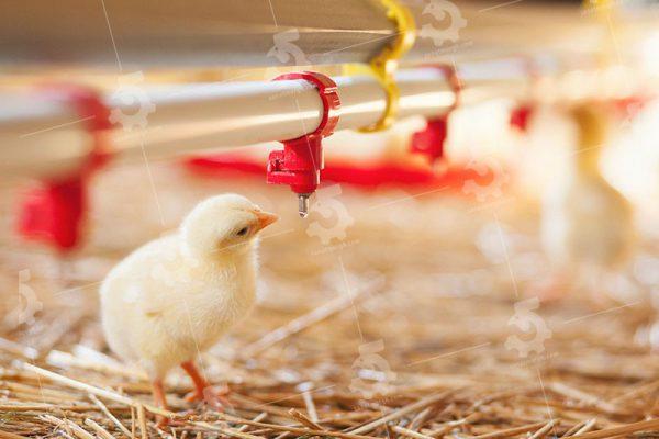 انواع آبخوری مرغ