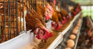غذای مرغ تخمگذار