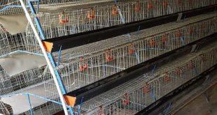 خرید قفس مرغ تخمگذار